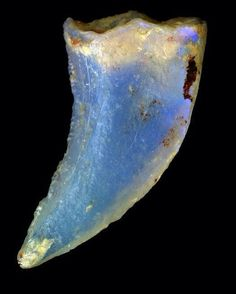 Opalized dinosaur tooth | #Geology #GeologyPage #Fossil    Photo Copyright © Australian Museum    Geology Page  www.geologypage.com