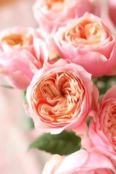 Coral Garden Rose peach campanella garden roses: all year   gardening   pinterest