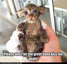 Great Dane gave kitten a shower :)  so sweet