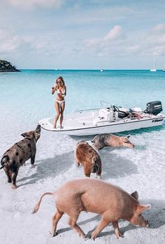 bahamas honeymoon On our bucket list.to visit the Bahamas to swim at Pig Beach! Even for their neighbors the swimming pigs are shrouded in mystery. Local legend tells a tale about hungry pirates who dropped them off and never made it back for their meal. Places To Travel, Travel Destinations, Places To Go, Les Bahamas, Swimming Pigs, Local Legends, Destination Voyage, Travel Goals, Travel Tips
