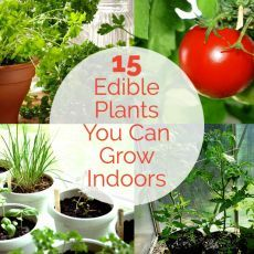 15 Edible Plants You Can Grow Indoors