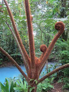 Tree ferns in the rainforest near Rio Celeste, Costa Rica