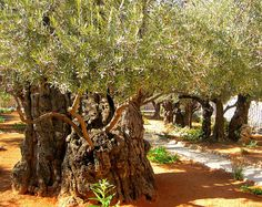 Ancient Olive Trees at the Garden of Getsemane, Jerusalem, Israel. Places Around The World, Around The Worlds, Heiliges Land, Terra Santa, Israel Travel, Olive Tree, Holy Land, The Good Place, Beautiful Places