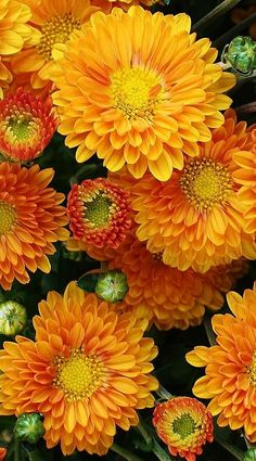Chrysanthemum for November for my beautiful daughter Fall Flowers, Orange Flowers, My Flower, Beautiful Flowers, Birth Flower, Beautiful Gorgeous, Happy Flowers, Colorful Flowers, Mother Nature