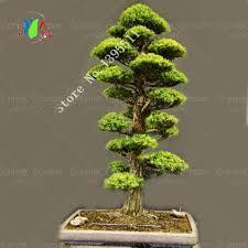 Resultado de imagem para bonsai tree