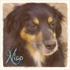 A Nico sus dueños lo llevaron a sacrificar porque era mayor. Después de estar esperando #adopcion en La Candela durante más de un año, ¡¡por fin está #adoptado!! http://protectoralacandela.org/nico/