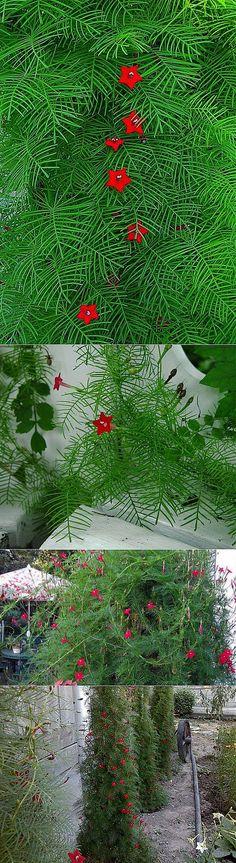 Как выращивать и ухаживать за квамоклитом? Виды квамоклита.