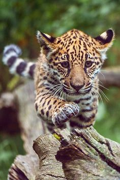 Baby leopard -- plasmatics-life: On Expedition ~ By Johannes Wapelhorst