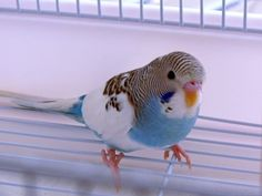 Baby budgie. His\\\/her ceres hasn't even turned colors yet!