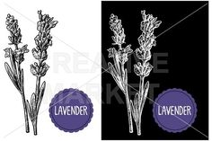 Lavender flowers engraving by MoreVector on @creativemarket