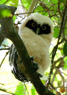 Spectacled owl chick (Pulsatrix perspicillata)    Seen while at Canopy Tower, Panama