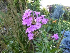 Sproutsandstuff: July Bloomers-Phlox -http://sproutsandstuff.blogspot.co.uk/p/blog-page_28.html