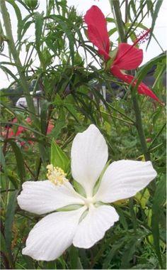 White Texas Star, Lone Star Perennial Hibiscus,  Hibiscus coccineus 'Lone Star' Almost Eden