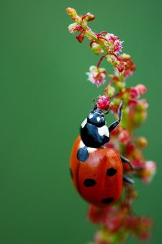 Jack the ladybird by ~MessiahKhan on deviantART She's A Lady, Lady In Red, Nature Animals, Animals And Pets, Photo Coccinelle, A Bug's Life, Lucky Ladies, Bugs And Insects, Macro Photography
