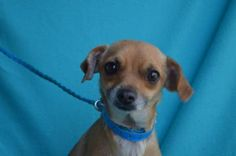Petango.com - Meet Snook, 2y Terrier / Chihuahua, Short Coat available for adoption in VISALIA, CA