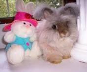 angora rabbit - Google Search