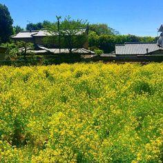 По пути в #Мияма - цветущие поля рапса сводящие с ума юных бабочек-капустниц и только что пробудившихся от зимней спячки молодых пчел-медведей - шмелей :) #рапс #рапсцветет #цветет #рапсодия #рапсовоеполе #шмель #весна #бабочки #Киото