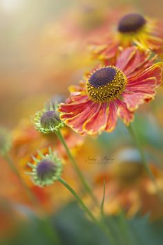 ~~Sunshine on a rainy day | Heleniums | by Jacky Parker~~