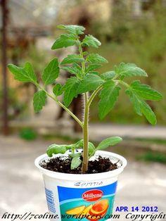 rasaduri de rosii Ghittia Garden, Plants, Agriculture, Garten, Lawn And Garden, Gardens, Plant, Gardening, Outdoor