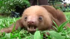 Squeaky Baby Sloths Might Be Cutest Animals Ever