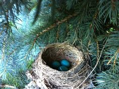 Robins Nest in a tree 3 eggs