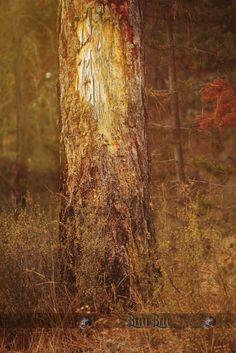 Ponderosa Pine tree, Sunriver Oregon