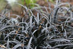 """Офиопогон плоскострелый """"Чернеющий"""" (Ophiopogon planiscapus 'Nigrescens')"""