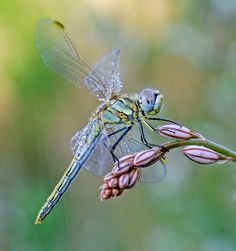 Dragonfly by Marco Díaz on The Effective Pictures We Offer You About Arthropods activity A qua Dragonfly Images, Dragonfly Art, Dragonfly Tattoo, Dragonfly Photography, Macro Photography, Beautiful Creatures, Animals Beautiful, Cute Animals, Flying Insects