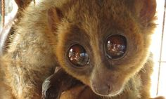 Bengal slow loris flies to UK safety It is hoped the rare primate will live at the Shaldon Wildlife Trust in Devon and befriend another slow loris called Doris