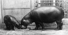 Archive photos, memories   the heart of Budapest Zoo Five In A Row, The Row, Hippopotamus, In The Heart, Hungary, Budapest, Homeschooling, Literacy, Archive