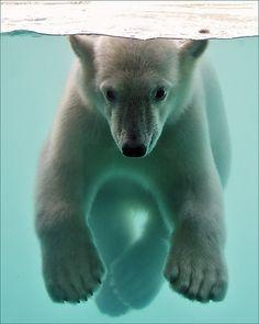 Polar Bear Cub Underwater by Foto Martien on Flickr.