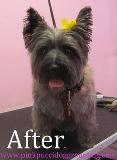 Cairn Terrier by PinkPucciDogGrooming, via Flickr
