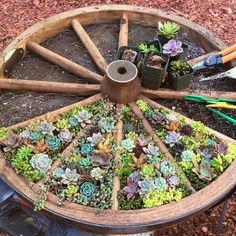 Succulent garden in old wagon wheel