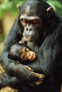 Chimp mom and baby ..