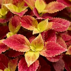 Coleus.  Love these plants for shady spots in the garden and in pots.  So many neat varieties to choose from.