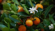 86 best zitruspflanzen im mediterranen garten images on pinterest fruit and veg garten and. Black Bedroom Furniture Sets. Home Design Ideas