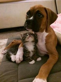 Boxer puppy and kitten friends.