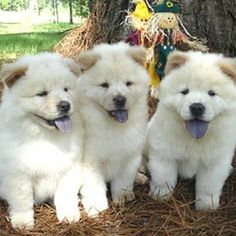 Chow chow triplets! #chowchow #chow #triplets #cute #aw #adorable #lovable #cutepuppies #puppies #puppy #love #white #bluetongue #blue #tongue #dog #dogs #scarecrow #smile #silly #instagram #follow #like #please