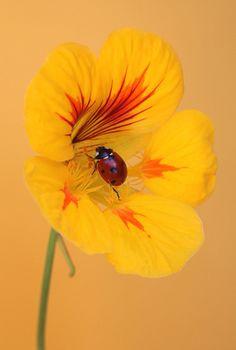 Nastertium Lady | Flickr - Photo Sharing!