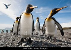 Stock Photo - King Penguins on the beach at Salisbury Plain, with Antarctic Tern hovering. Wildlife Photography, Photography Tips, Steve Bloom, Penguin Parade, Salisbury Plain, King Penguin, Camera World, Iconic Photos, Antarctica