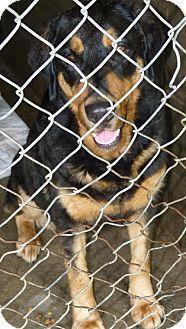 Zanesville, OH - Doberman Pinscher/Rottweiler Mix. Meet 42482 Harley, a dog for adoption. http://www.adoptapet.com/pet/13206958-zanesville-ohio-doberman-pinscher-mix
