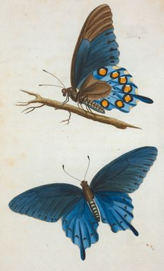 Butterfly from'American Entomology': or description of the insects of North America, illustrated by coloured figures from...