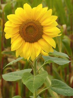 DAG 263: VAN GOGH'S FLOWER Project 4.12.365  http://phototroost.com/gallery/365/ #photography #fotografie #brabant #flower #ravenstein #sunflower #pictureoftheday #imageoftheday #P412365