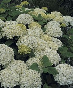 Creamy, six-inch flower heads form flattened spheres above heart-shaped leaves from June through frost. Hydrangea Arborescens Annabelle, Hydrangea Quercifolia, Smooth Hydrangea, White Gardens, Outdoor Plants, Outdoor Life, Garden Planning, Garden Landscaping, Snowflakes
