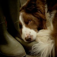 Definitely getting Blaze a brown friend when Baby dies! Absolutely love a brown border collie!
