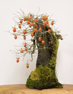 老鴉柿(老爺柿、姫柿)の石付盆栽 Old Crow Persimmon (Princess Persimmon) bonsai on a rock