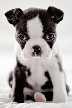 frenchie love #frenchie #frenchbulldog #acasadava #cute