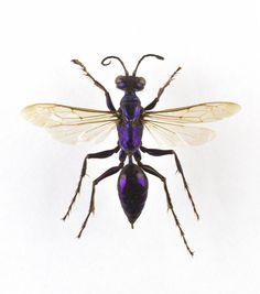 Sphex lobatus, blue wasp, dried specimen