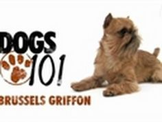 For more, visit http://animal.discovery.com/tv/dogs-101/#mkcpgn=ytapl1 | The Brussels Griffon may be small, but it's got a plus-size personality!