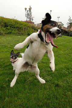 Yeeeaaaaagh! Jack Russell Madness. Jumping Jacks. aka Crazy Jacks.